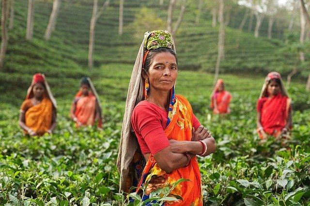 ženy při sběru čaje