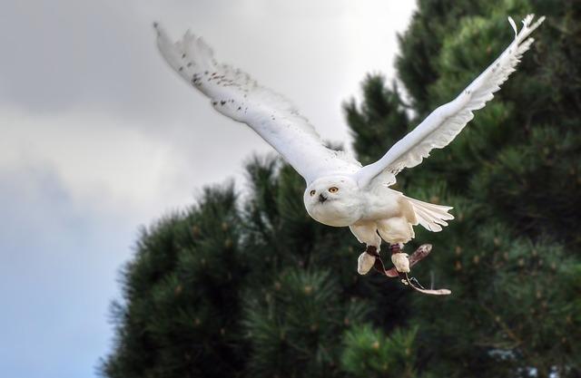 letící sovice sněžní.jpg