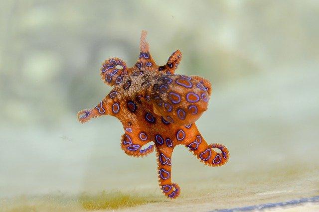 modrá kroužkovaná chobotnice.jpg